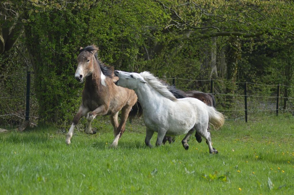 A cause de l'influence de l'humain, certains chevaux se montrent anormalement agressifs envers leurs congénères. (Crédit : Gaëlle Colinet)