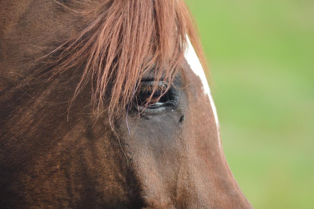 La douleur dorsale serait une cause de distraction chez le cheval. (Crédit : Gaëlle Colinet)