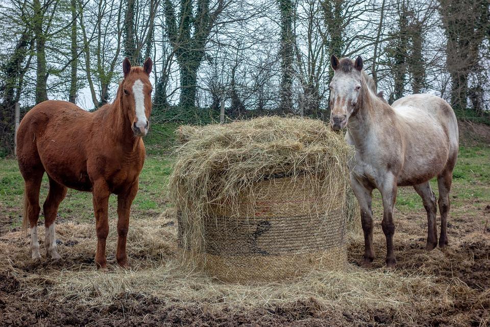 Un cheval dominant sera-t-il plus facilement en surpoids? (Crédit : Pixabay License)