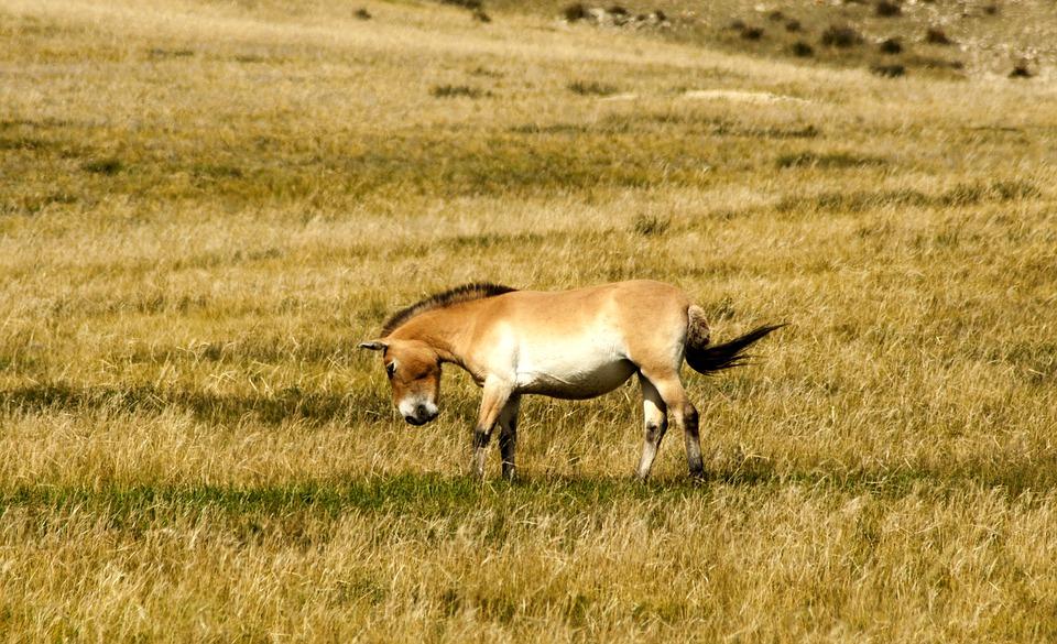 La diversité génétique n'a pas diminué au sein des chevaux réintroduits à l'état sauvage. (Crédit : Pixabay)