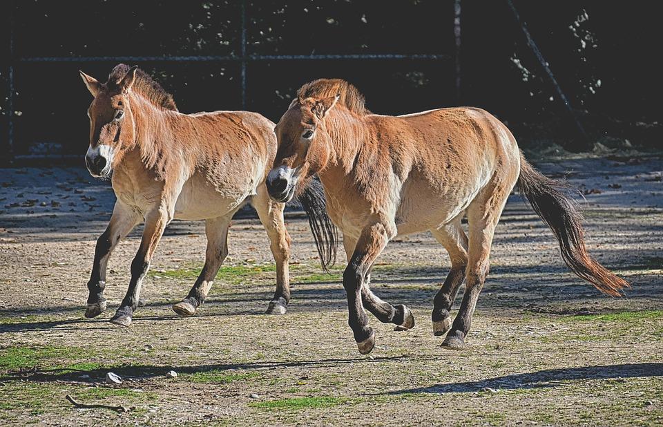 Les chevaux sauvages de Przewalski sont peu à peu réintroduits dans leur milieu naturel. (Crédit :Pixabay License)
