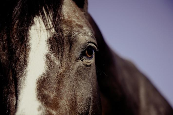 Le sort des chevaux est très inquiétant. (Crédit : Pixabay)