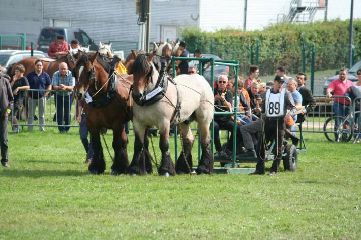 Des Traits Belges sur l'épreuve de traction (Crédit photo : L'équimag)