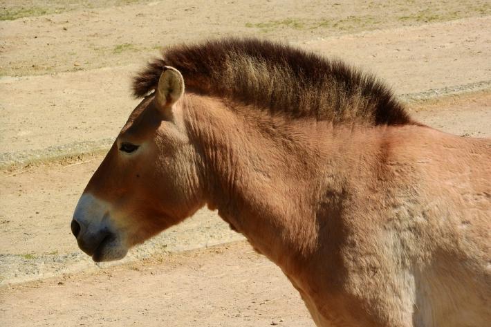 Les chevaux de Przewalski ne sont pas des descendants des chevaux sauvages. (Crédit : CC0 Creative Commons)