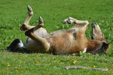 Le dos du cheval aurait énormément évolué au fil des siècles (Crédit : Gaëlle Colinet)