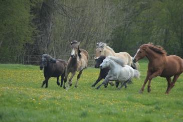 Les chercheurs ont fait le parallèle entre les théories de Monty Roberts et le comportement des chevaux. (Crédit : Gaëlle Colinet)