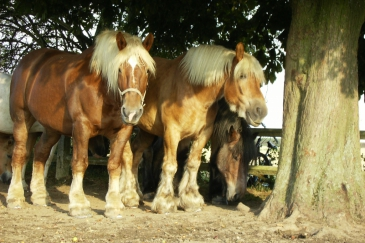 Les chevaux de trait constituent une alternative écologique aux engins motorisés. (Crédit : Gaëlle Colinet)