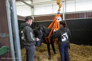 Le cheval le plus mal en point n'arrive pas à se tenir debout. (Crédit : Animaux en péril)