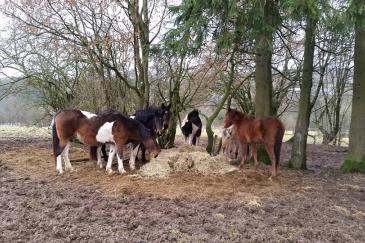 Une partie des chevaux de Graide, Luxembourg. (Crédit : François Hascher, Facebook association Aide pour les Animaux)