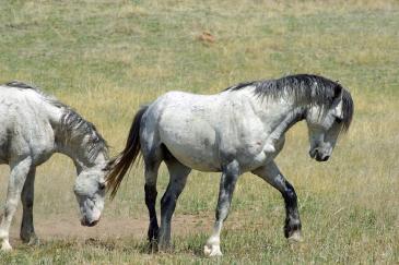 Un cheval agacé tapera facilement du pied. (Crédit : Pixabay License)