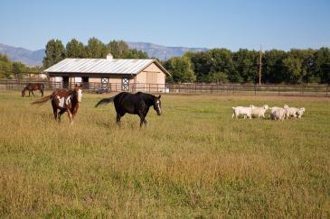 L'association de chevaux et de moutons est un atout pour votre pré. (Crédit : Pixabay License)