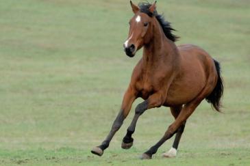 Contrairement à l'Homme, le cheval n'a pas de clavicule. (Crédit : Pixabay License)