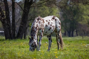 Le cheval ne rumine pas car il ne possède qu'un estomac. (Crédit : Pixabay License)