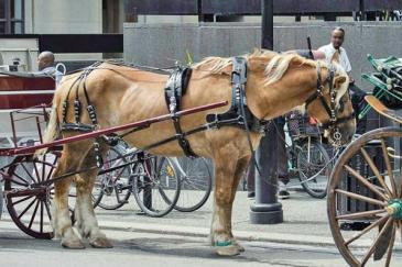 Une calèche dans la ville de Montréal, au Canada. (Crédit : Montréal SPCA)