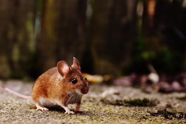 Les souris peuvent transmettre de nombreuses maladies. (Crédit : Pixabay License)