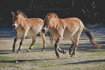 Les chevaux de Przewalski sont peu à peu réintroduits dans leur milieu naturel. (Crédit :Pixabay License)