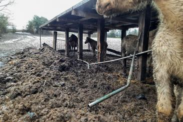 L'état de détention des chevaux à Sprimont. (Crédit : Animaux en Péril asbl)