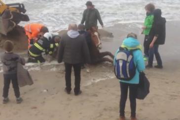 Le cheval secouru par de nombreuses personnes. (Crédit : Vidéo VTM)