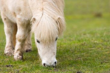 Si la ration n'est pas bien équilibrée, votre cheval peut gagner du poids. (Pixabay License)