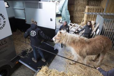 Un des chevaux lors de sa saisie. (Crédit : Animaux en péril)