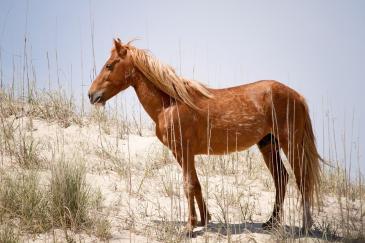 La population de chevaux sauvages en Namibie diminue de plus en plus. (Crédit : Pixabay License)