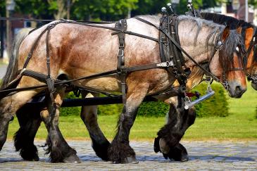 Un cheval de trait remplace les machines. (Crédit : CC0 Creative Commons)