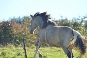 Du fourrage en continu ainsi que des sorties en groupe sont nécessaires au bien-être du cheval. (Crédit : Gaëlle Colinet)