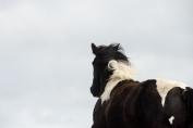 Tout surpoids est néfaste pour la santé du cheval. (Crédit : G.Colinet)