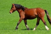 Certains chevaux doivent éviter à tout prix l'herbe printanière. (Crédit : Pixabay License)
