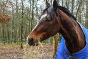 Le foin seul peut répondre aux besoins du cheval. (Crédit : Pixabay License)